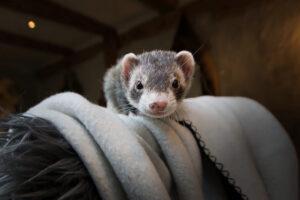 Mäuschen Morla